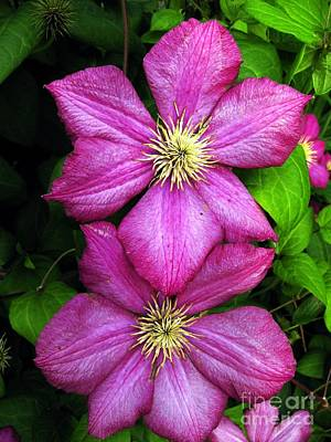 Purple Clematis 2 Art Print