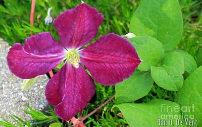Photograph - Purple Clematis In Bloom by Dan De Ment