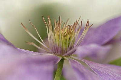 Photograph - Purple Clematis Macro by Jacqi Elmslie