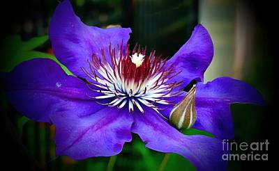 Photograph - Purple Clematis # 2 by Marcia Lee Jones