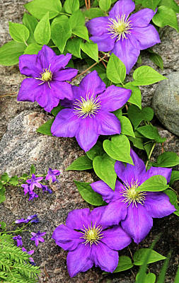 Photograph - Purple Clematis On Rock by Debbie Oppermann