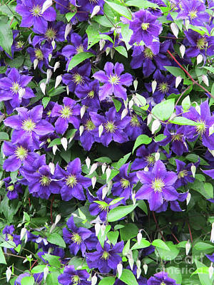 Photograph - Purple Clematis by Randall Weidner