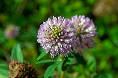 Photograph - Red Clover by Cathy Mahnke