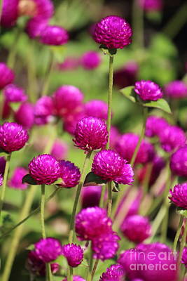 Photograph - Purple Clover Flowers by Jackie Farnsworth