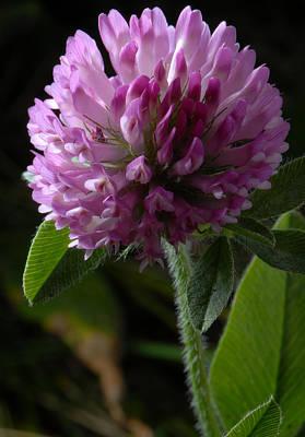 Photograph - Purple Clover by JT Lewis