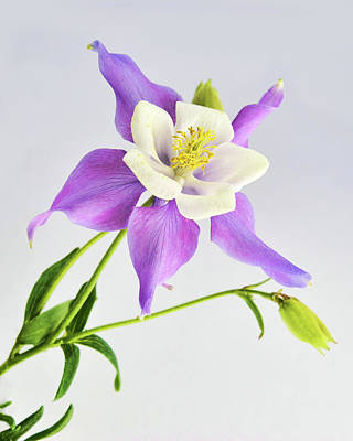Photograph -  Purple Columbine by Ann Bridges