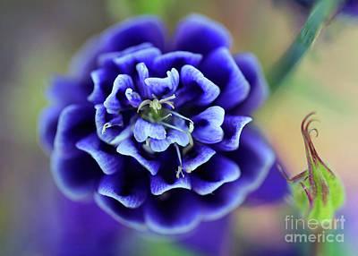 Photograph - Purple Columbine Flower by Karen Adams