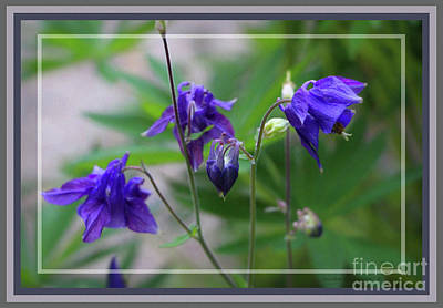 Photograph - Purple Columbine, Framed by Sandra Huston