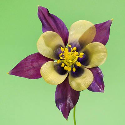 Photograph - Purple Columbine by Peg Runyan