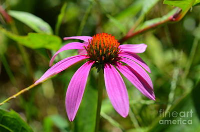 Photograph - Purple Cone Flower by Lew Davis