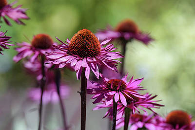 Photograph - Purple Cone Flowers by Keith Boone