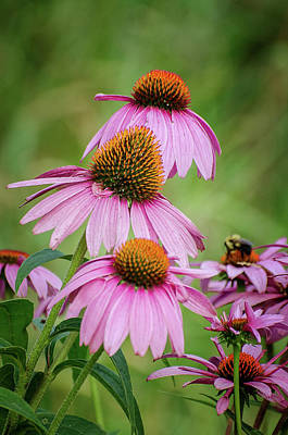 Photograph - Purple Coneflower And Bee by Susan McMenamin