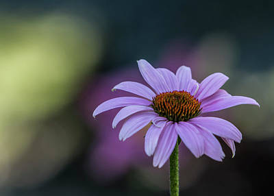 Photograph - Purple Coneflower Bokeh #1 by Patti Deters