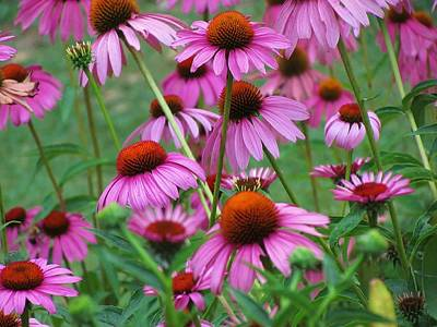 Purple Coneflower Bravado Art Print