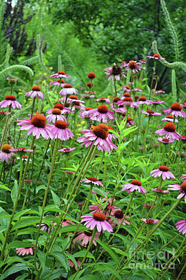 Digital Art - Purple Coneflower  by Eva Kaufman