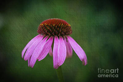 Photograph - Purple Coneflower by Steve Purnell