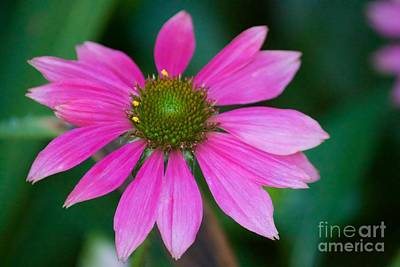 Photograph - Purple Coneflower by Terri Thompson