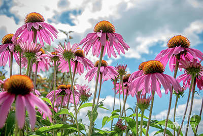 Photograph - Purple Coneflowers by Cheryl Baxter