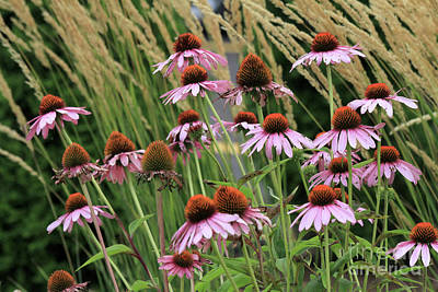 Photograph -  Purple Coneflowers by Paula Guttilla