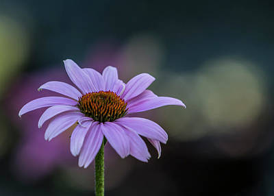 Photograph - Purple Coneflower Bokeh #2 by Patti Deters