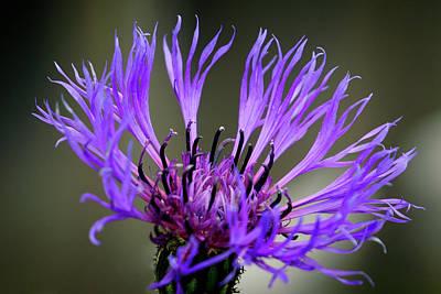 Photograph - Purple Cornflower by Inge Riis McDonald