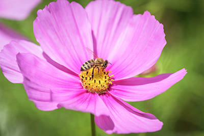 Photograph - Purple Cosmos And The Honey Bee 2017 by Thomas Young