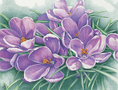 Drawing - Purple Crocus by Amy S Turner