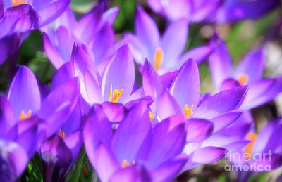Photograph - Purple Crocus Flowers by Charline Xia