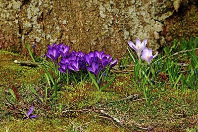 Photograph - Purple Crocus In The Moss by Debbie Oppermann