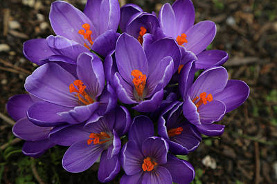 Photograph - Purple Crocus In The Shade by Nareeta Martin