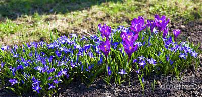 Crocus Photograph - Purple Crocuses And Blue Scilla Siberica by Irina Afonskaya