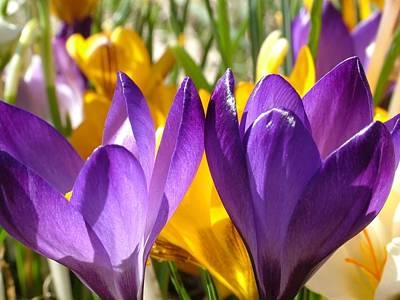 Photograph - Purple Crocuses by Maggie Vlazny
