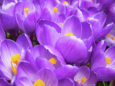 Purple Crocuses Art Print