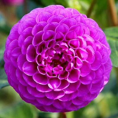 Photograph - Purple Dahlia by Brian Eberly