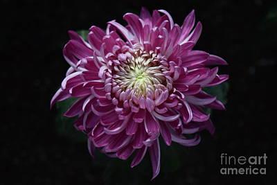 Photograph - Purple Dahlia by Jeannie Rhode