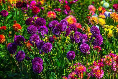 Of Dahlia Photograph - Purple Dahlias by Garry Gay