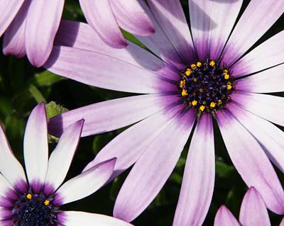 Photograph - Purple Daisies by Brandy Herren