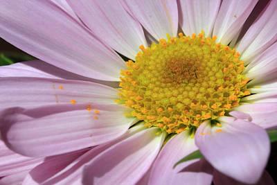 Photograph - Purple Daisy by Angela Murdock