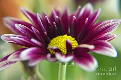 Purple Daisy Art Print by Kelly Holm