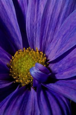 Purple Daisy Art Print by Susan Heller