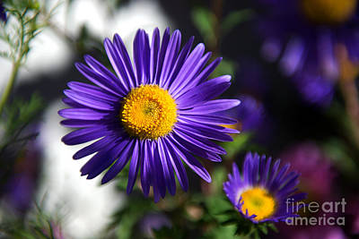 Photograph - Purple Daisy by Yew Kwang