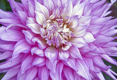 Purple Dalia Original by James Steele