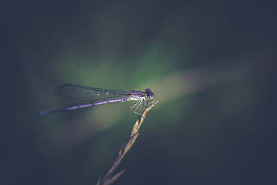 Damselflies Photograph - Purple Damsel by Shane Holsclaw