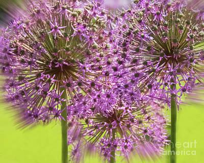 Photograph - Purple Dandelion by Cheryl Del Toro