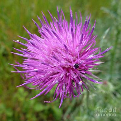 Purple Dandelions 2 Art Print