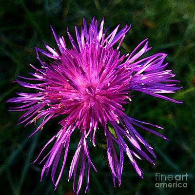 Photograph - Purple Dandelions 4 by Jean Bernard Roussilhe