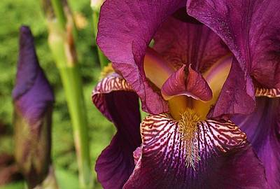 Photograph - Purple Delight by Bruce Bley