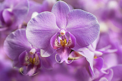 Photograph - Purple Dream. Moth Orchids by Jenny Rainbow