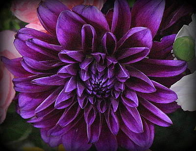 Photograph - Purple Emperor Dahlia by Dora Sofia Caputo Photographic Design and Fine Art