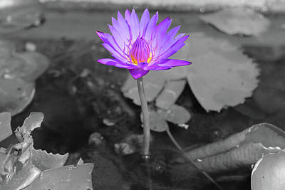 Photograph - Purple Enlightened Lotus by Samantha Delory